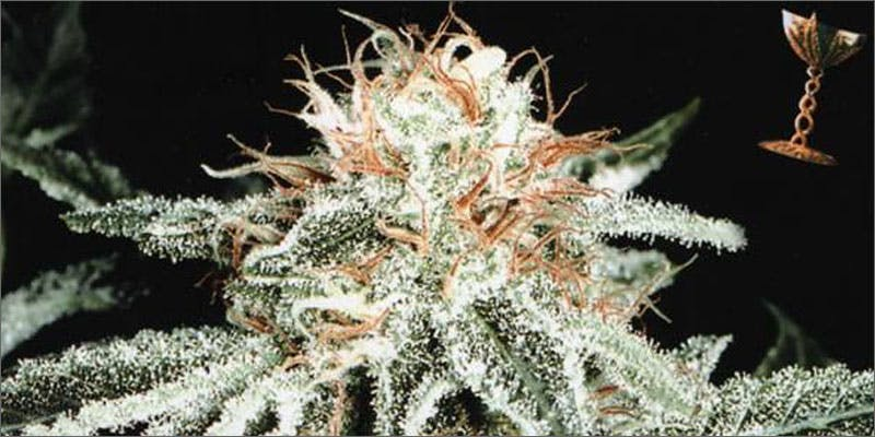1 cannabis strains for migraines white widow THC: Everything You Need To Know About Delta9 Tetrahydrocannabinol
