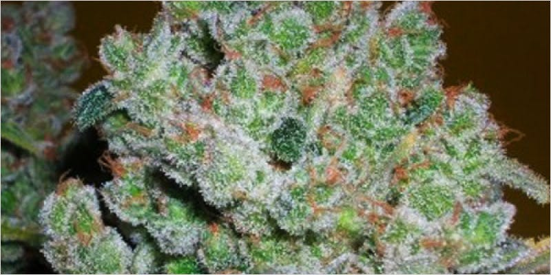 13 blueberry strains 6 THC: Everything You Need To Know About Delta9 Tetrahydrocannabinol