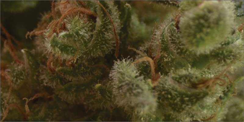 4 best medical marijuana strains one to one Get Ready Florida! Legal Weed Will Be Yours Next Week
