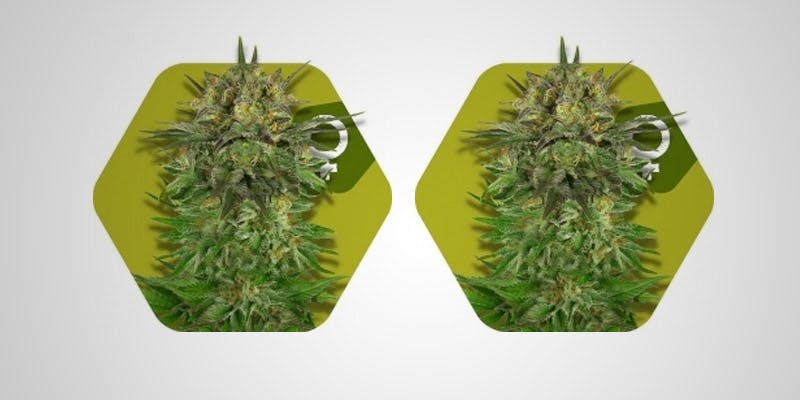 7 Hottest New Sativas 2 All In The Mind #5: Cannabis And Bipolar Disorder