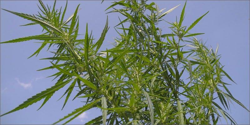 italian farmers are using hemp to detox soils hemp THC: Everything You Need To Know About Delta9 Tetrahydrocannabinol