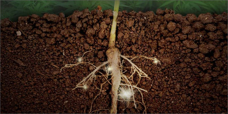 Hemp Roots