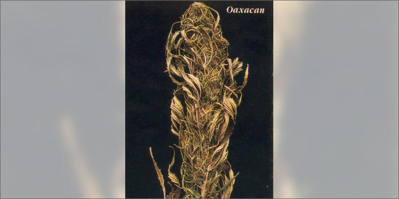 1 rarest cannabis strains oaxacan State Of Marijuana: The Most Important Cannabis Event This Year