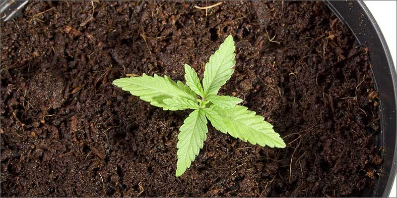 5 ultimate guide starting cannabis seeds sprout Growing Cannabis Seeds: Heres Everything You Need To Know