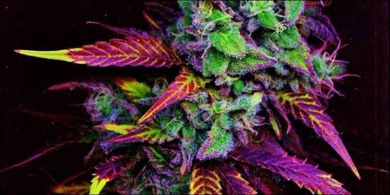 Red Green and Purple1 Purple, Red & Green Weed: A Guide To Your Bud Colors