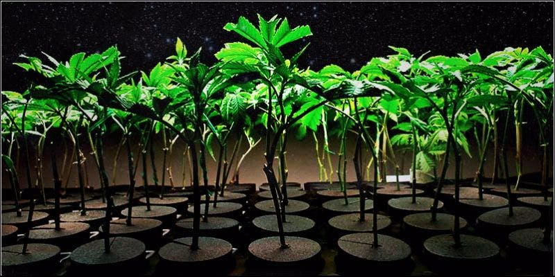 Ultimate Guide To Cloning 2 Cannabis And Sex: How Much Do You Really Know?
