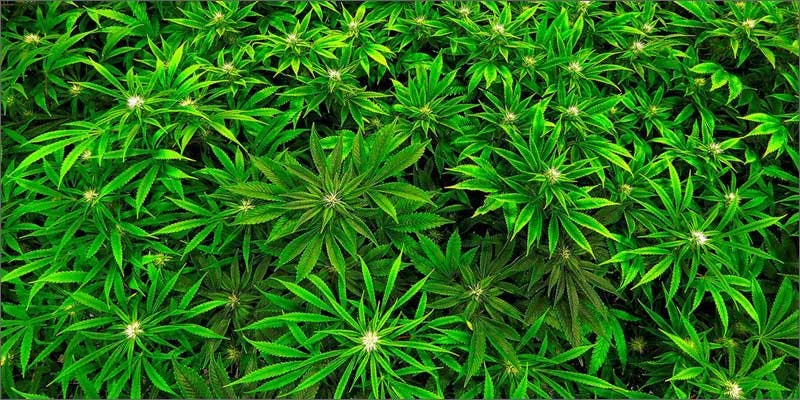 3 men held forced labor california pot farm plants Workers Threatened With Death On Weed Farm