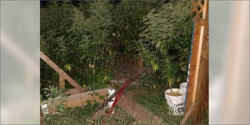 day care cannabis grow operation garden This Dominos Driver Delivered More Than Just Pizza