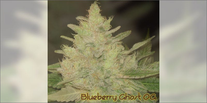 1 ways to know strain perfect grow blueberry ghost Cannabis Infused Roasted Red Potatoes Will Rock Your Dinner Table
