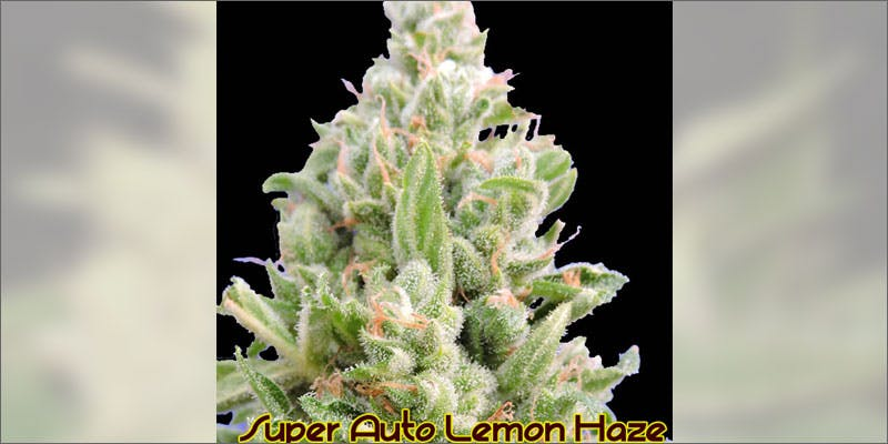 2 ways to know strain perfect grow lemon haze Cannabis Infused Roasted Red Potatoes Will Rock Your Dinner Table