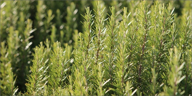 3 plants containing beneficial cannabinoids rosemary 6 Plants That Contain Healing Cannabinoids (Other Than Cannabis)