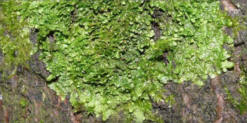 4 plants containing beneficial cannabinoids liverwort 6 Plants That Contain Healing Cannabinoids (Other Than Cannabis)
