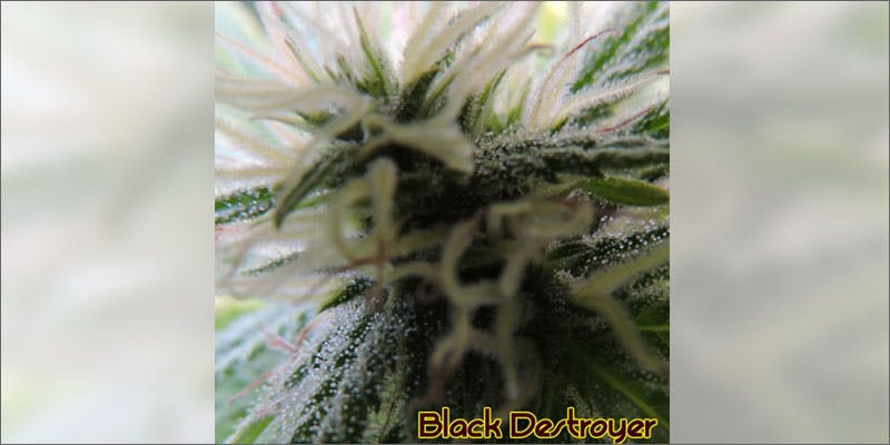 4 ways to know strain perfect grow black desert Cannabis Infused Roasted Red Potatoes Will Rock Your Dinner Table