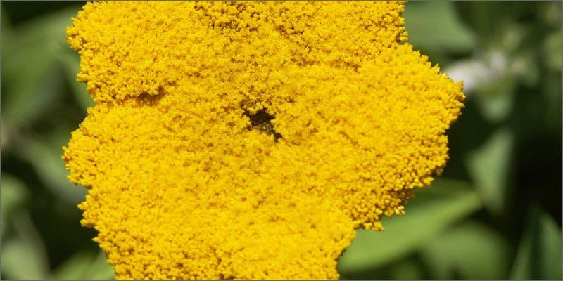 5 plants containing beneficial cannabinoids helichrysum 6 Plants That Contain Healing Cannabinoids (Other Than Cannabis)