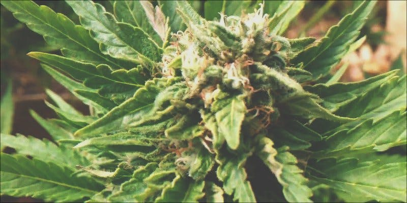 Critical Mass 1 To Put It Bluntly, You Need To Watch This New Women & Weed Show