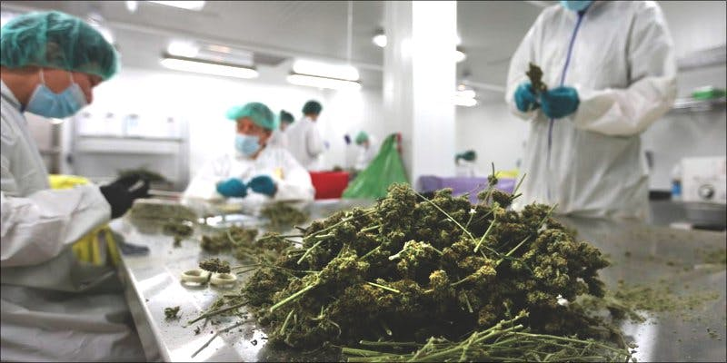 Sugar to grow cannabis 2 The Californian Tax Glitch Is Great News For Medical Cannabis Patients