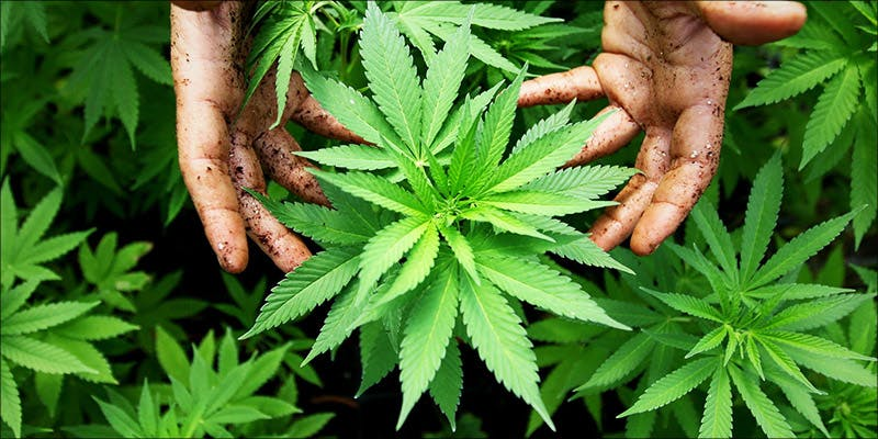 Legalization 4 Years 6 The Californian Tax Glitch Is Great News For Medical Cannabis Patients