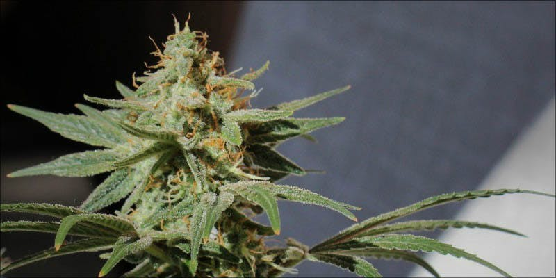 10 New Strains 1 Will Cannabis Be Seen As Medicine Under New International Law?