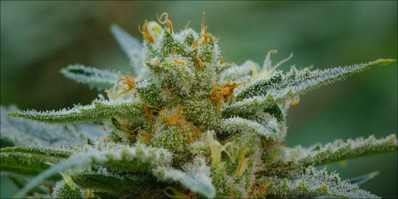10 New Strains 2 Will Cannabis Be Seen As Medicine Under New International Law?