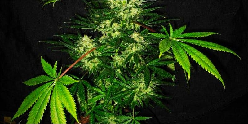 Cannabis Anatomy 2 This Machine Grows Weed For You & Sends You A Text When Its Ready