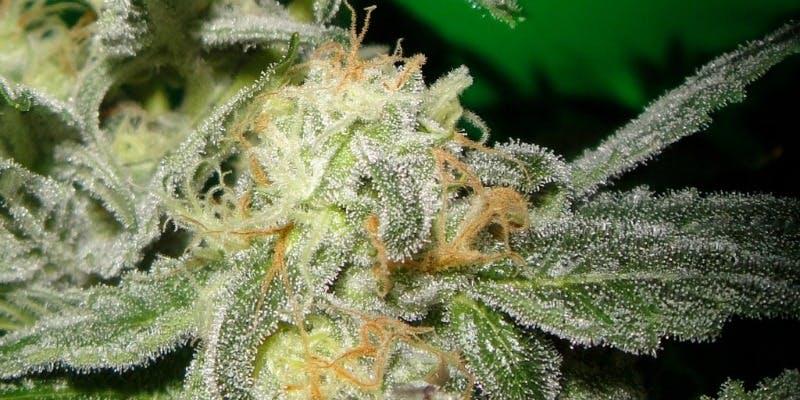 Grape Stomper Weed; Grape Stomper Cannabis Strain; Grape Stomper Hybrid Marijuana Strain