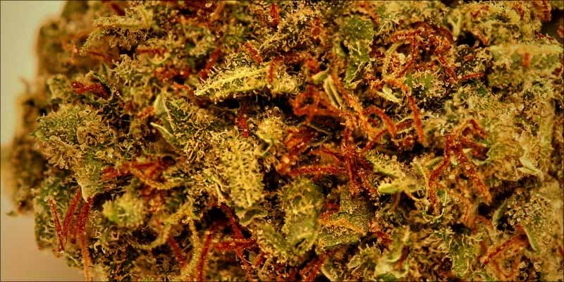 10 Strongest Sativa 10 Gelato: This Super Sweet Hybrid Is Potent, Popular And Perfectly Balanced