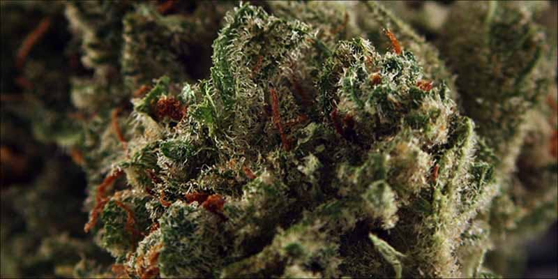 10 Strongest Sativa 4 Gelato: This Super Sweet Hybrid Is Potent, Popular And Perfectly Balanced