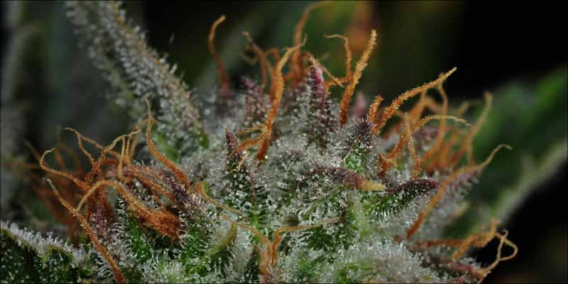 10 Strongest Sativa 6 Gelato: This Super Sweet Hybrid Is Potent, Popular And Perfectly Balanced