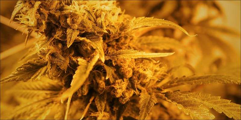 5 Things You 4 1 Raspberry Kush: One Of The Most Popular Indica Hybrids Around