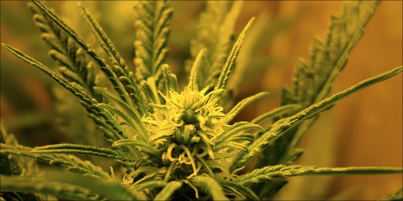 Does Cannabis Help 1 Raspberry Kush: One Of The Most Popular Indica Hybrids Around