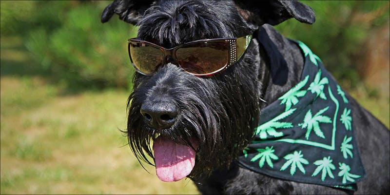 In Australia Medical 1 In Australia, Medical Cannabis Is Being Used To Treat Anxious Pets