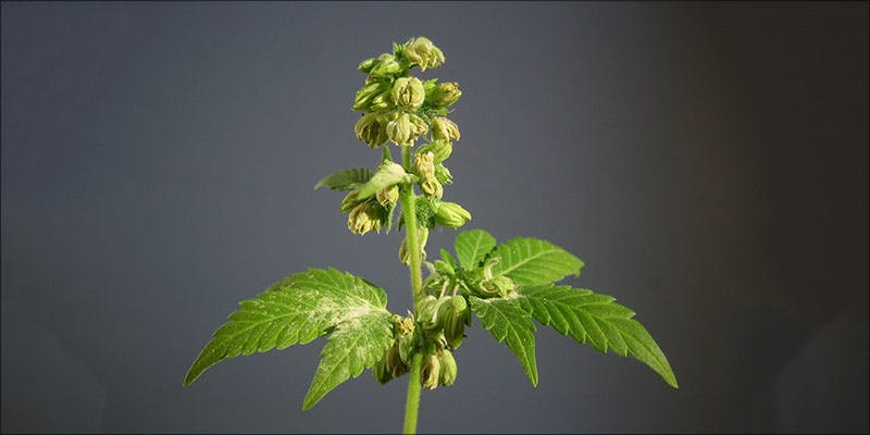 Is Your Plant 1 Raspberry Kush: One Of The Most Popular Indica Hybrids Around