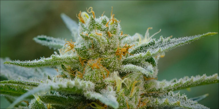 10 Strongest Hybrid Strains On Earth Right Now | Herb