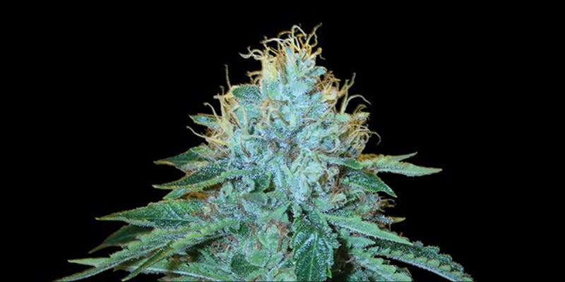 10 Strongest Hybrid 8 10 Strongest Hybrid Strains On Earth Right Now