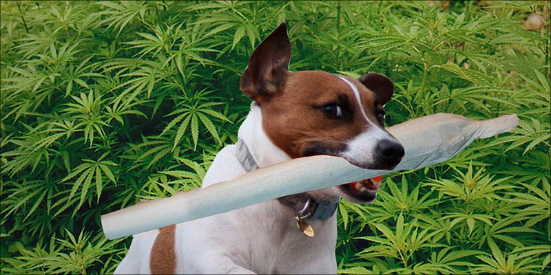 dog to find lost weed