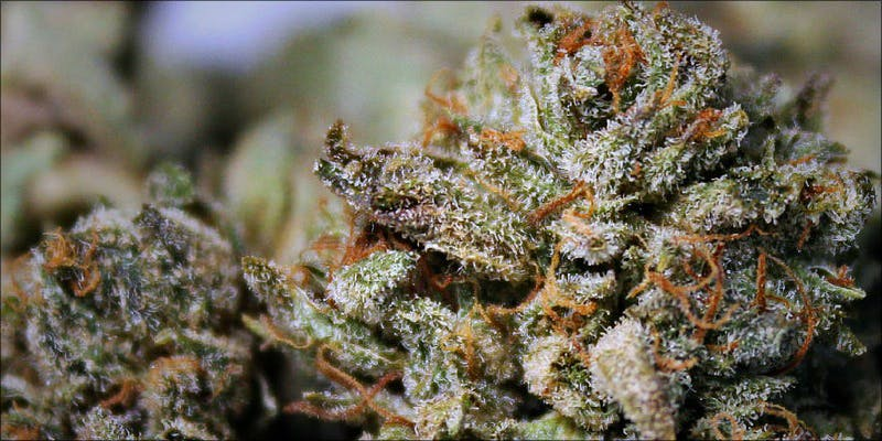 The 10 Strongest 7 Gelato: This Super Sweet Hybrid Is Potent, Popular And Perfectly Balanced