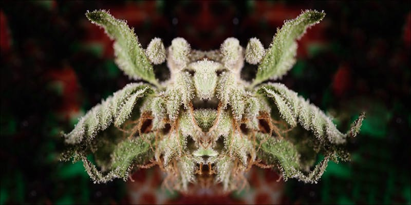 The No Frills 2 11 Best Clear Headed Sativa Strains To Help You Concentrate