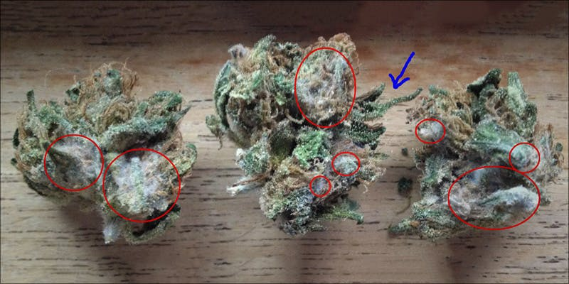 What Does Weed 1 2 What Does Weed Mold Look Like?
