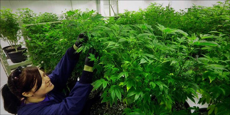 Whole Plant Medicine 1 Where Did The Huge Social Stigma On Cannabis Users Come From?