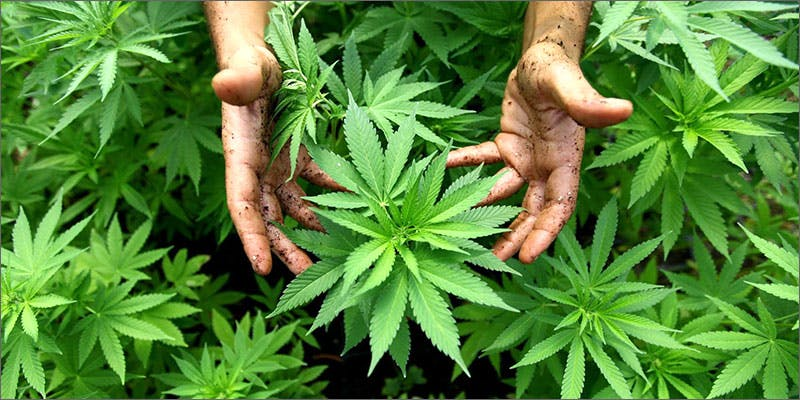 growweed 11 Best Clear Headed Sativa Strains To Help You Concentrate