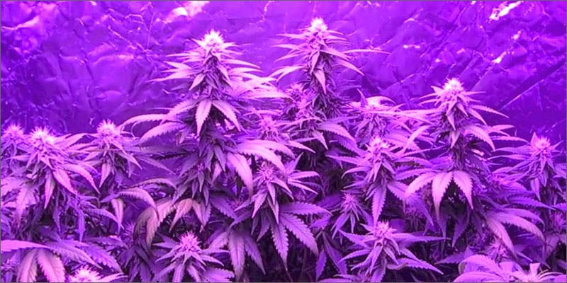 light 11 Best Clear Headed Sativa Strains To Help You Concentrate