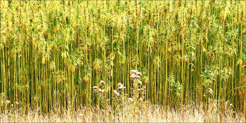 How Is Hemp 1 10 Answers To The Most Commonly Asked Questions About Weed