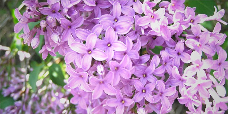 Terpineol Lilac Aroma 1 10 Answers To The Most Commonly Asked Questions About Weed