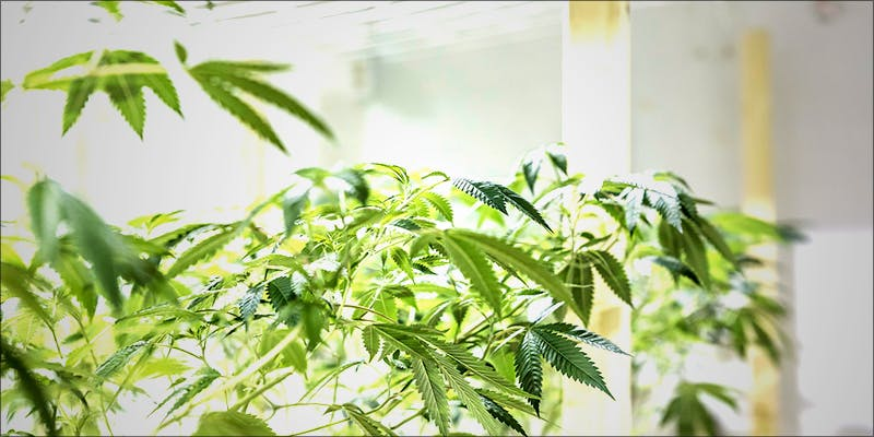 Top 5 Reasons 4 5 Reasons Why Its Smarter To Buy And Grow Feminized Cannabis Seeds