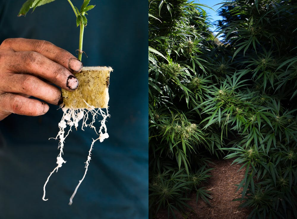 cannabis photographer kristen angelo herb 12 Can you eat raw weed?