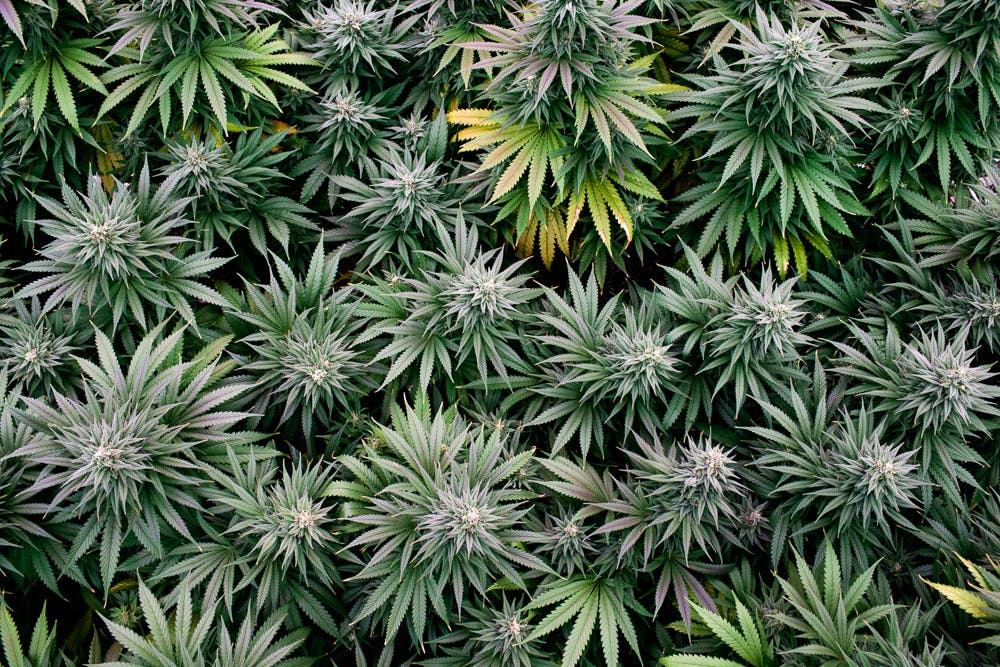 cannabis photographer kristen angelo herb 4636 Can you eat raw weed?