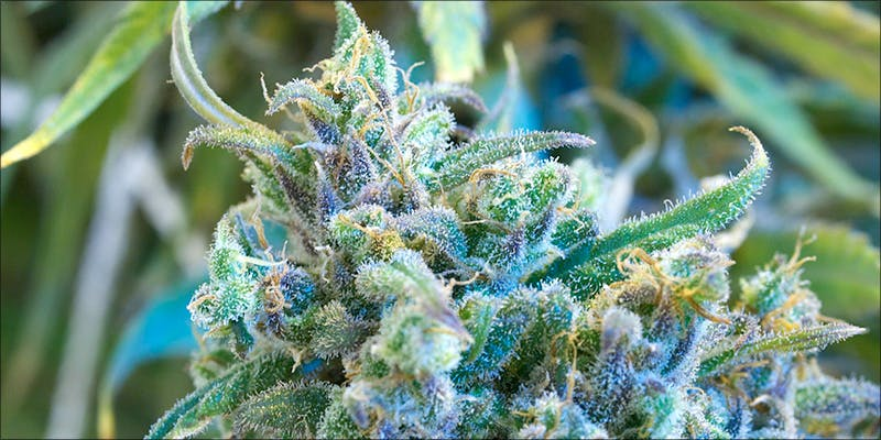 20 Weed Switzerland 3 10 Best Indica Strains To Round Off Your 420 Celebrations