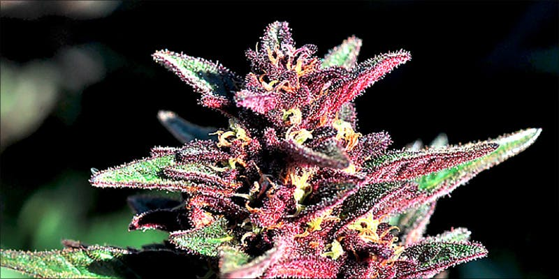 7 Most Unusual 1 10 Best Indica Strains To Round Off Your 420 Celebrations