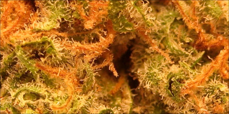 7 Most Unusual 5 10 Best Indica Strains To Round Off Your 420 Celebrations