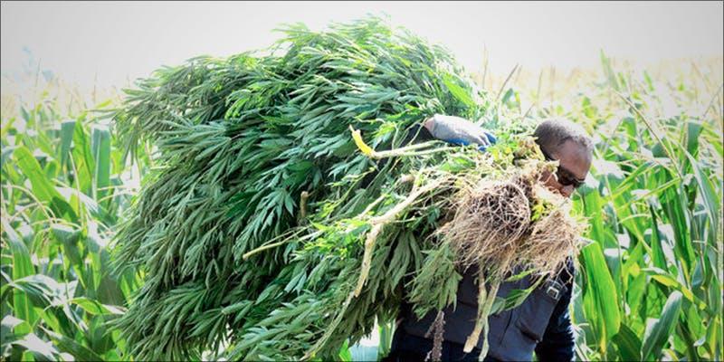 Californias Illegal Marijuana hero 10 Best Indica Strains To Round Off Your 420 Celebrations